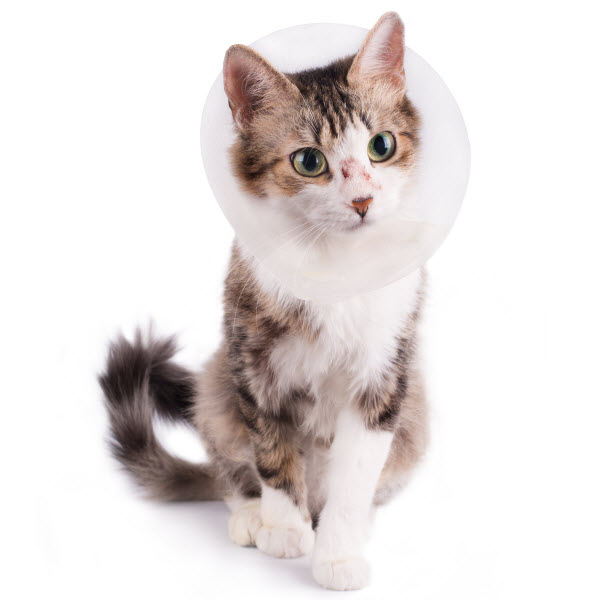 Injured cat wearing a cone after surgery