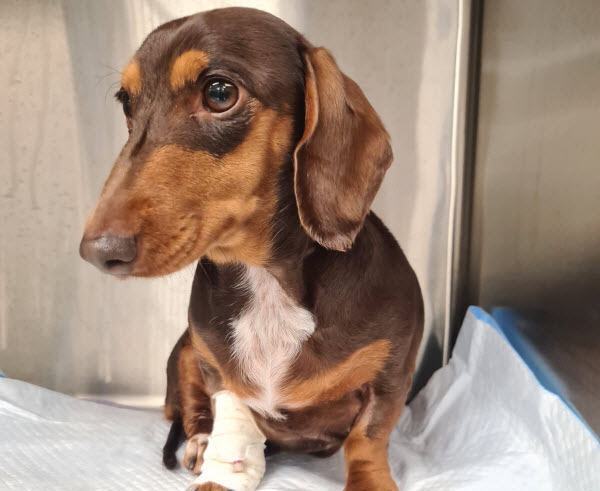 A Dachshund sitting on a pad with a surgical tape on her leg