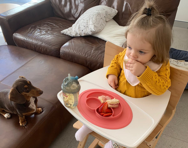 Duchshund sitting beside an eating toddler