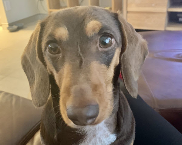 A Dachshund sitting on the couch