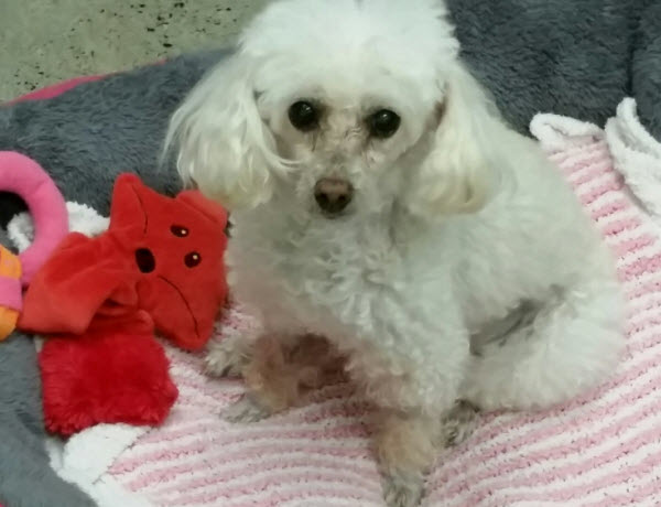 VSOS - A sick 12 year old Toy Poodle Willow