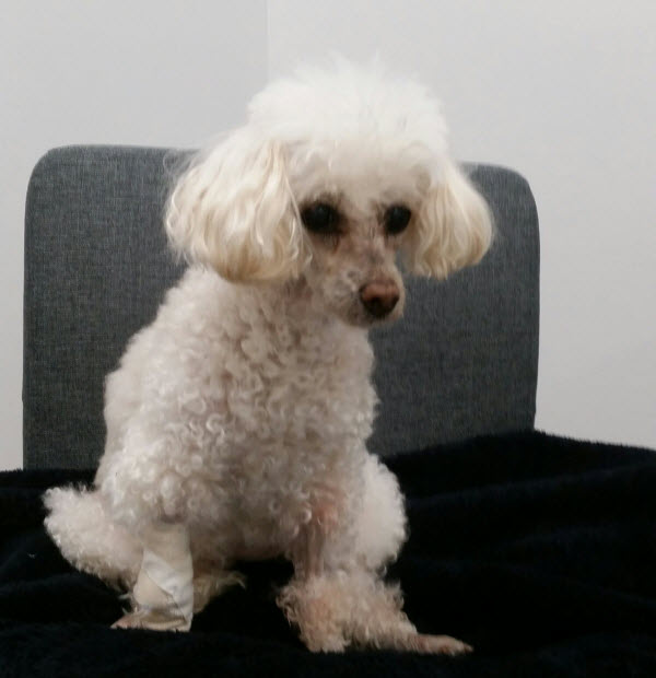 VSOS - Toy Poodle Willow